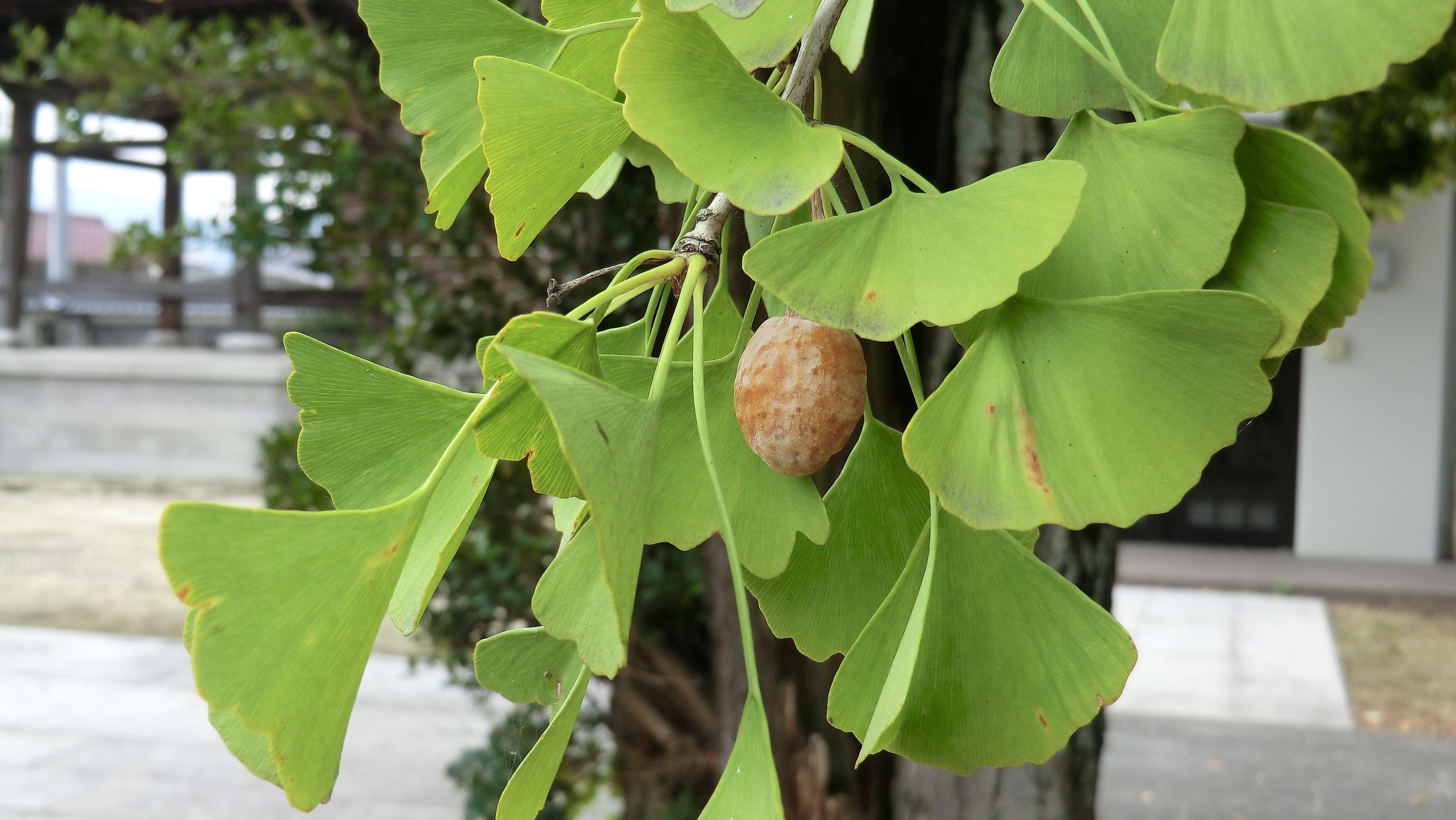 銀杏の実と葉