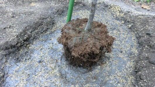 苗木に土をかける前