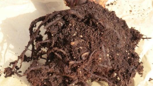 食害にあったブルーベリーの根