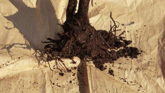 コガネムシの幼虫被害の根