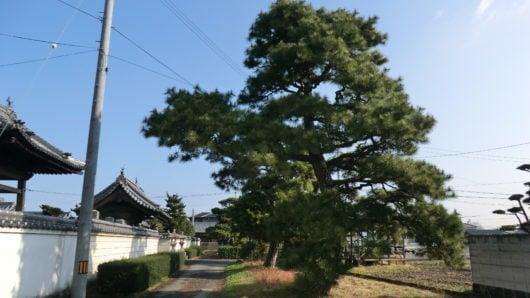 剪定前の松の木の様子
