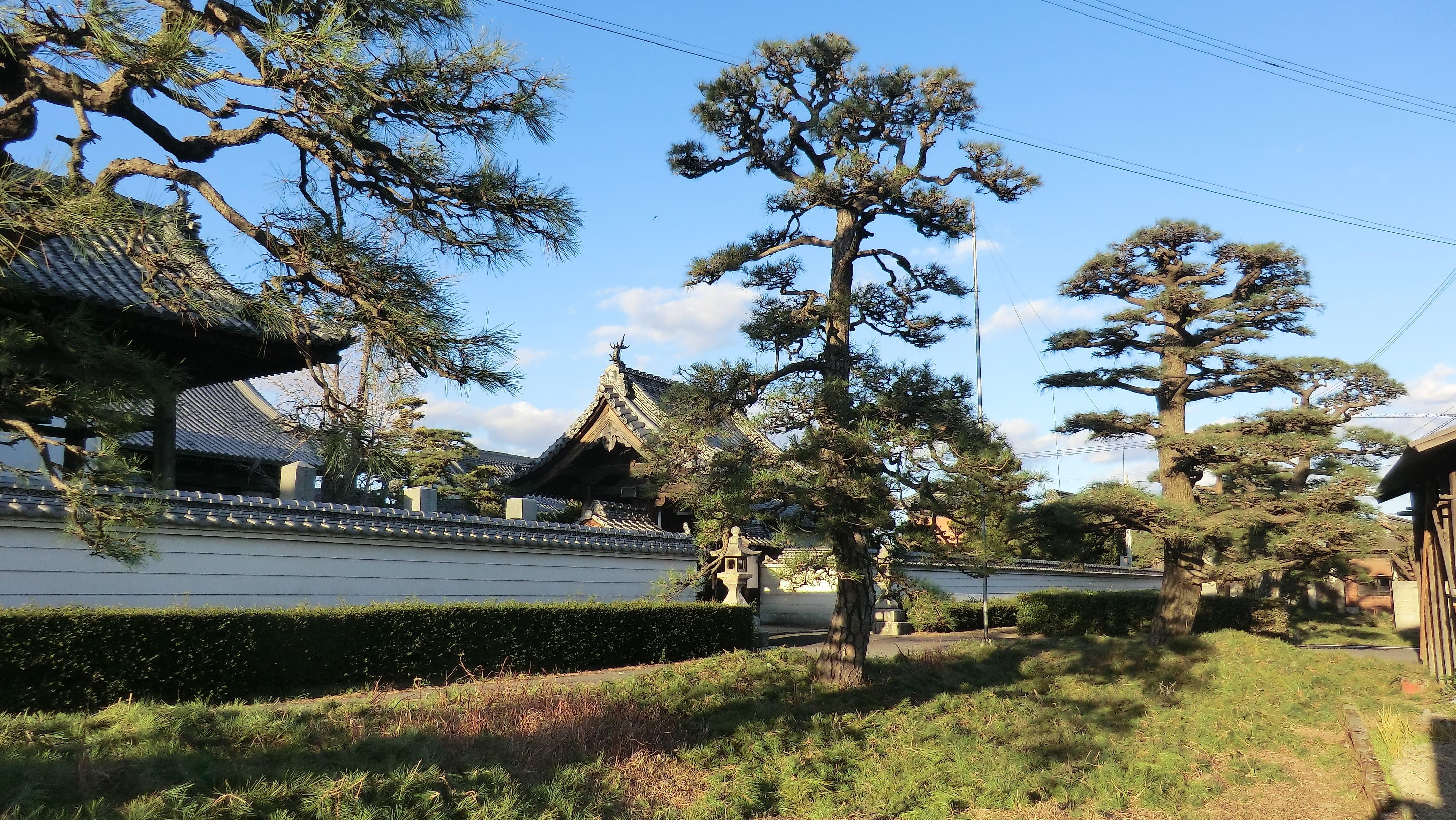 剪定後の松の木の様子