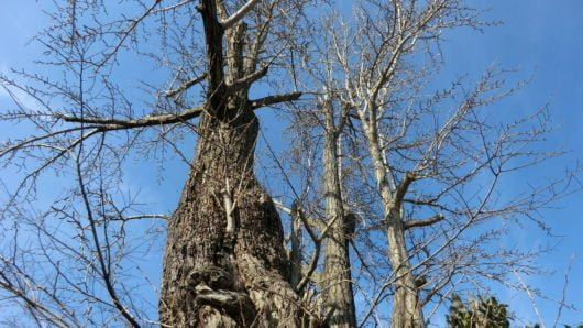 落葉したイチョウの木