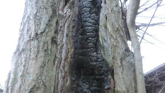 火事で焦げたイチョウの木