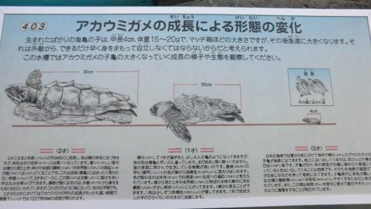 アカウミガメの子ガメの成長速度