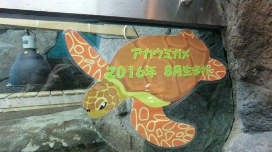 2016年生まれのアカウミガメ