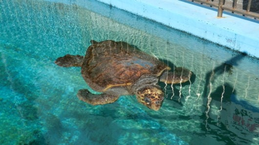 国内最高齢のウミガメ
