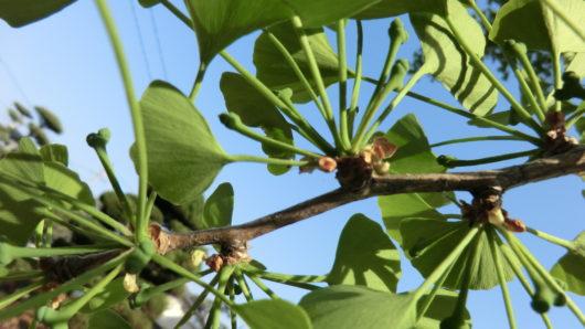 銀杏雌の雌花柱頭