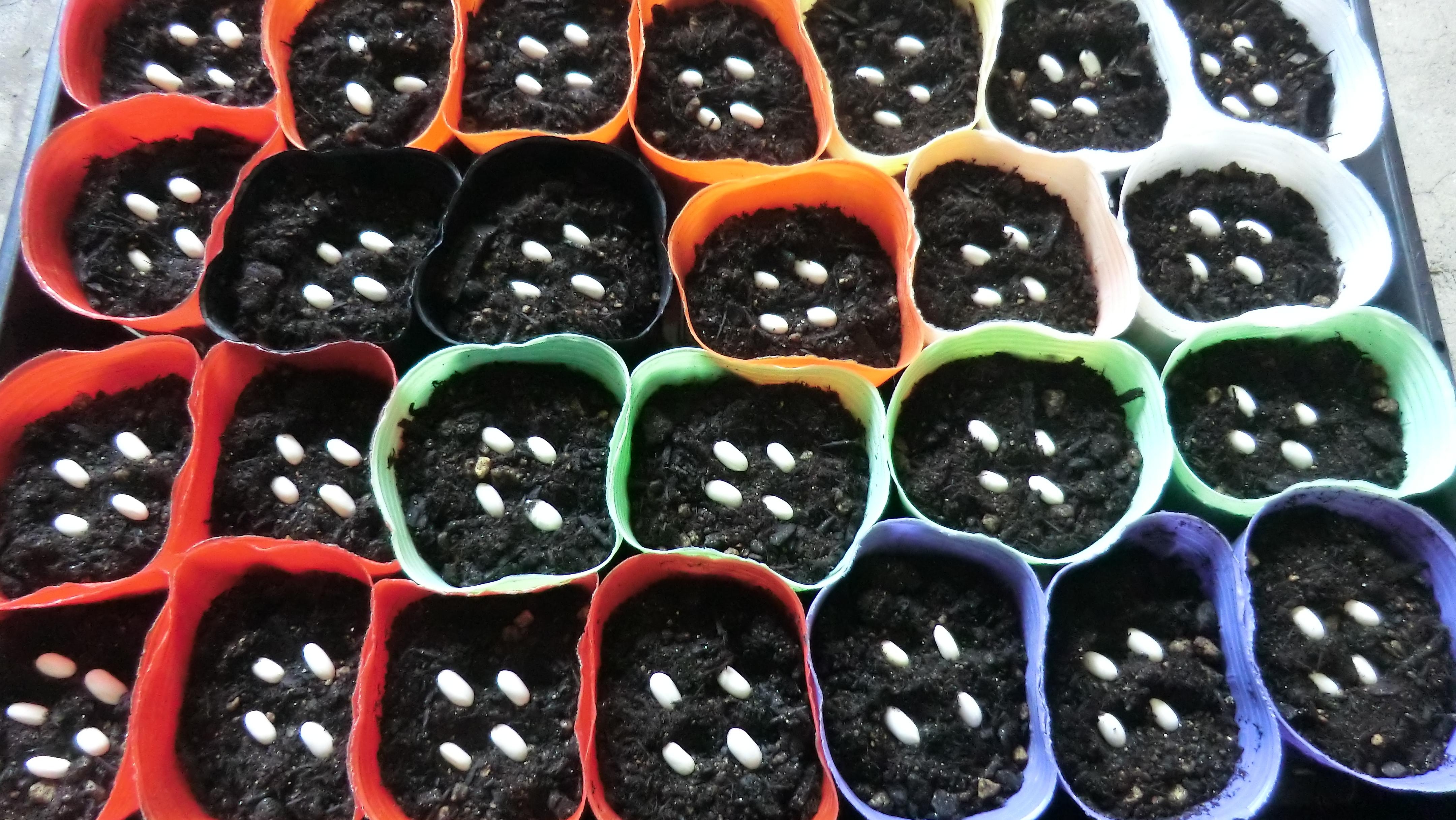 インゲンのを3号ポットに種まき。一ポットに4粒。
