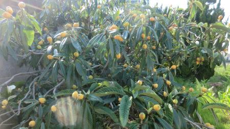 ビワの収穫間近の樹の様子。