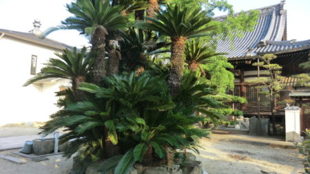 本堂前の雌のソテツの樹