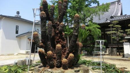 剪定後の雌のソテツの樹