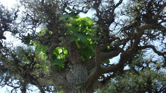 松に寄生している植物の拡大写真