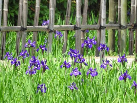 5月の花、菖蒲