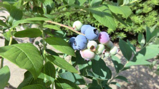 6月頭にブルーベリー「オニール」の収穫