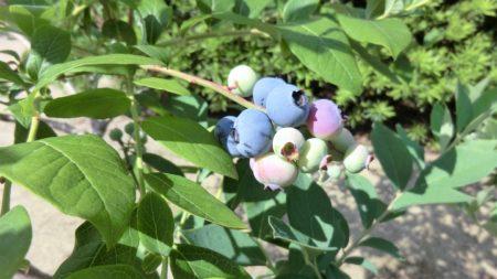 6月頭、ブルーベリー「オニール」の収穫