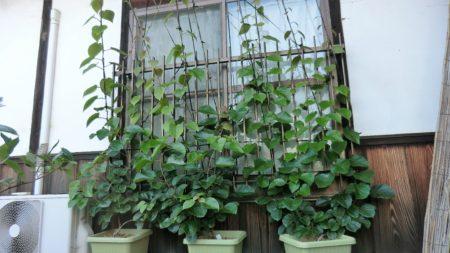 キウイフルーツの緑のカーテン