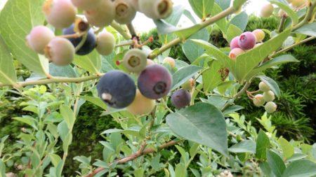 イラガに注意しながら採るブルーベリーの実