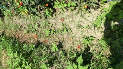 落とされたミニトマト