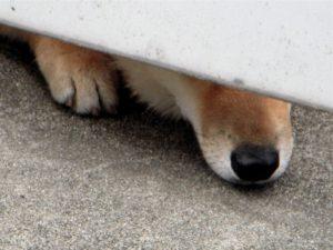 番犬が柵の隙間から覗く