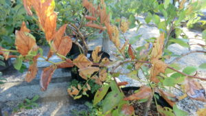 ブルーベリーの葉が害虫に食べられた写真。