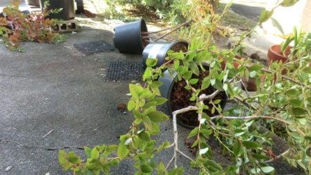 台風で倒れた大型鉢。