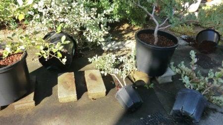 台風は45・60リットル鉢もなぎ倒す。