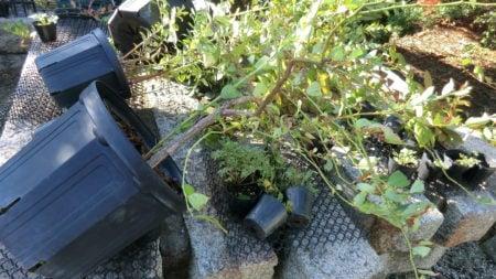 台風は鉢をことごとく倒す。