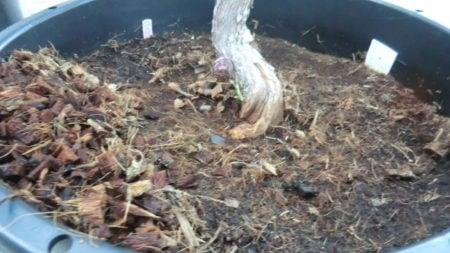 転倒したブルーベリーの鉢を起こした様子。