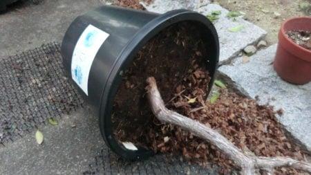 大風で倒れたブルーベリーの鉢。