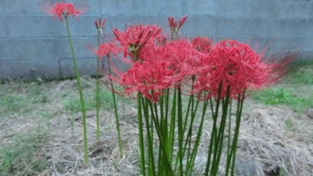 A spider lily blooming at the water's edge.