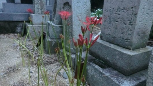 Tombstone and red spider lily.
