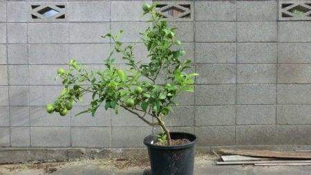 9月下旬の鉢植えレモンの様子。
