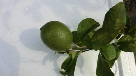 一枝一果のレモン果実。