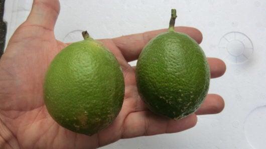 9月に収穫したレモン。