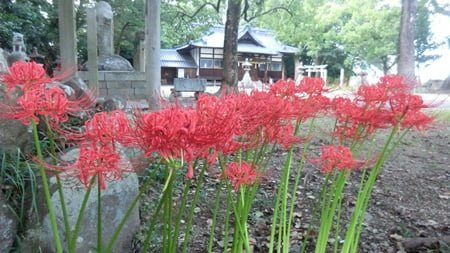 Higanbana flowers are also seen in Buddhist temples and Shinto shrines.