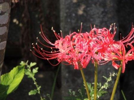 beautiful lycoris radiata (higanbana flower)