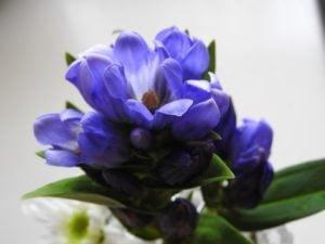 リンドウの花。