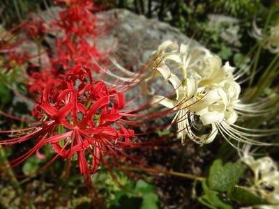 Higanbana of red flowers. Manjushage of white flowers.