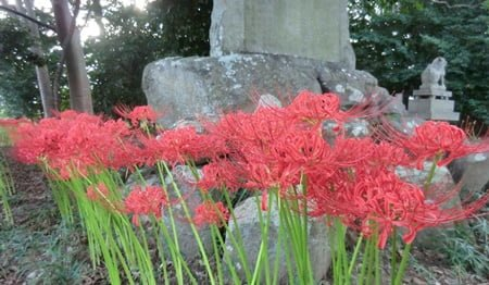 red spider lily plant was planted where we wanted to keep animals away