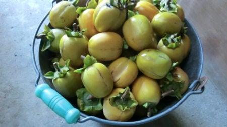 収穫したての青い渋柿。
