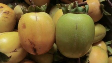 熟れた渋柿と未熟な渋柿を比較。
