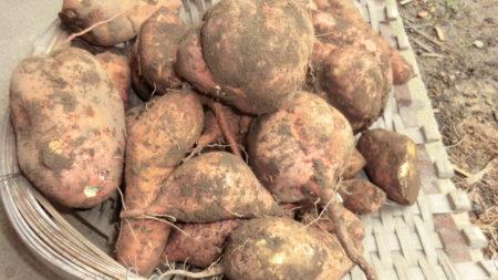 植えつけ後150日のサツマイモ。大きくなりすぎた。失敗かも。