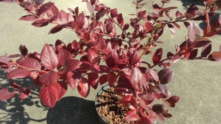 ブルーベリー、サミットの紅葉