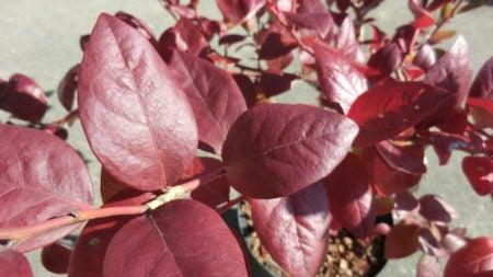 サミットの紅葉。濃い紅色で光沢あり。