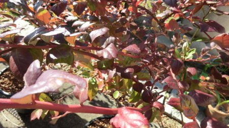 ブルーベリーの紅葉開始。10月下旬