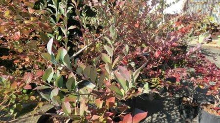 色づき始めるブルーベリーの葉