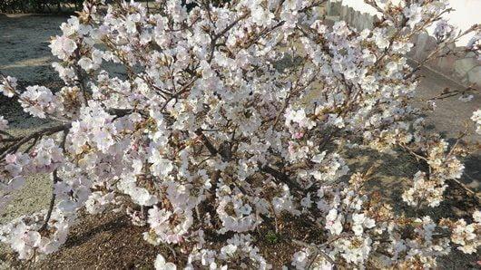 Nehan-sakura cherry blossom