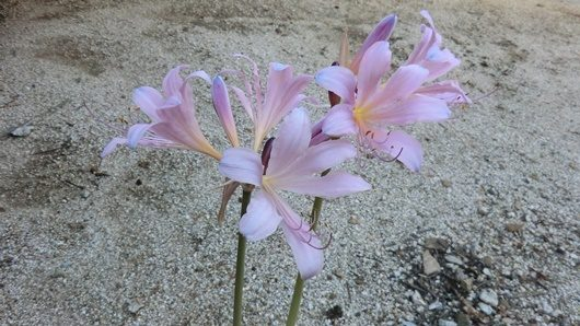Lycoris squamigera pink
