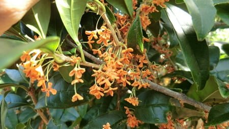 Flowers of Fragrant olive. It is a small orange flower and its fragrance is wonderful.